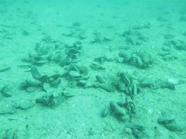 G.I.F.T grant for Hauraki Gulf shellfish habitat restoration
